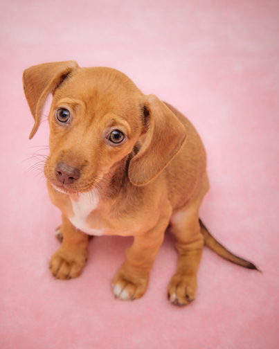 Beautiful light brown puupy with begging expression.